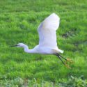 Rare bird makes Wombourne its home